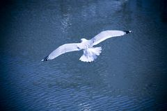 Seagull. Fly by over water in blue tone Royalty Free Stock Image