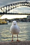 Seagull Zdjęcie Stock