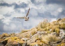 Seagull Royaltyfri Foto