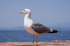 Seagull. On the shore against the sea royalty free stock images