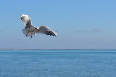 Seagull Arkivfoton