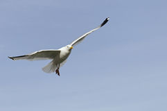 Seagull. In the area of Beaumaris, UK Royalty Free Stock Image