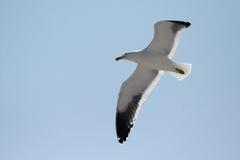 Seagull. Cape Gull (Larus vetula) in flight Stock Photography