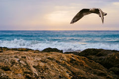 The Seagull. Seagull flying at the coast of Mallorca / Spain Stock Photography