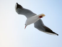 Free Seagull Stock Image - 7194111