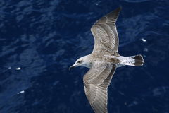 Seagull. On sea Stock Image