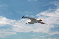 Seagull. On sea Stock Photography
