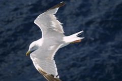 Seagull. On sea Stock Images