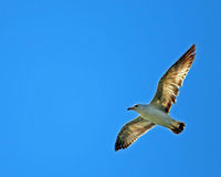 Seagull. A seagull flying against a blue sky Stock Images