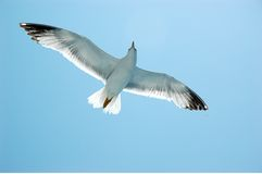 Seagull. Flying in blue sky royalty free stock photo