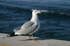 Seagull. A seagull sitting near the edge of the ocean in Florida, USA Stock Photos