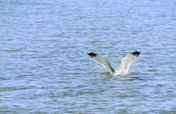 Seagull. Is going down to the water Royalty Free Stock Photo