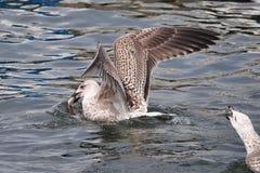 Seagull Obraz Stock