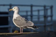 Seagull Royaltyfri Fotografi
