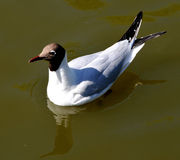 Seagull. In Tivoli Amusent Park in Copenhagen, Denmark Royalty Free Stock Photos