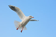 Seagull. Close-up of seagull, flying over blue sky Royalty Free Stock Images