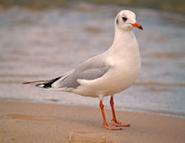 Seagull. At the beach of the island Usedom, Germany Stock Image