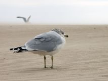 Seagull. Lonely seagull on the deserted beach Stock Photos