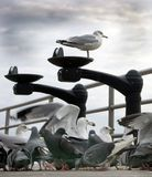 Seagull. Above the crowd Stock Images