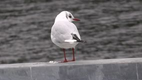 Seagull zbiory wideo