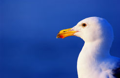 Seagull. Head shot of a seagull Stock Images