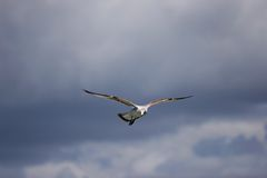 Seagull. Bird in flight Royalty Free Stock Image