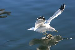 Free Seagull Royalty Free Stock Photos - 86290068