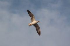 Seagull Fotografia Royalty Free