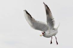 Seagull 4 Royaltyfria Foton