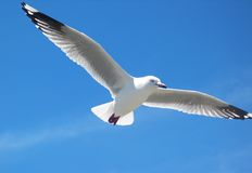 Seagull. In Flight stock photography