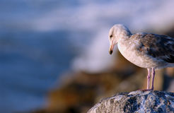 Seagull. On a rock Stock Photos