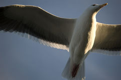 Seagull 9300. A seagull is captured flying in an artful and elegant moment Stock Photography