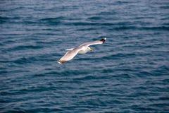 Seagull 6 Fotografia Royalty Free