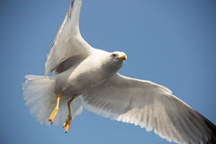 Seagull 10 Obraz Stock