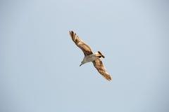 Seagull 14 Fotografia Stock