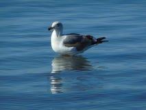 Free Seagull Royalty Free Stock Photo - 94830555