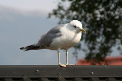 Seagull. On roof Royalty Free Stock Images