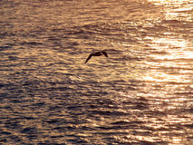 Seagull. Over golden water stock photography
