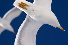 Seagull. Without one leg flying over blue sky Royalty Free Stock Photos