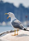 Seagull. Portrait of a seagull gape Stock Image