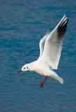 Seagull Above Frozen Lake stock photos