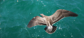 Seagull Above Ocean. A brown seagull flying above the green ocean water Stock Photos
