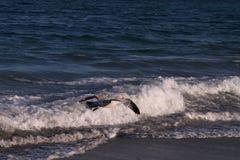 Seagull above the ocean waves. Seagull above ocean waves water sun blue sand beach nice Stock Photo