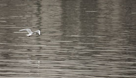 A seagull above the water. Royalty Free Stock Photo