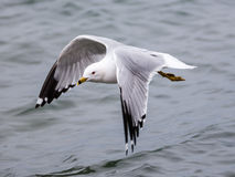 Seagull above water with wings open. Stock Image
