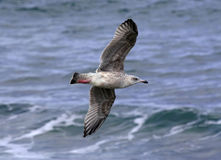 Seagull above Waves. Speckled Seagull flying over waves Stock Images
