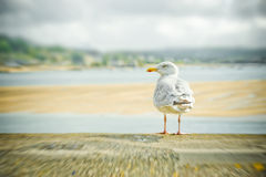 Seagull abstract Royalty Free Stock Images