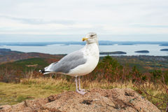 Seagull at Acadia National Park, Maine Stock Photos