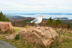 Seagull at Acadia National Park, Maine Royalty Free Stock Images