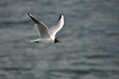 Seagull in action Royalty Free Stock Photos